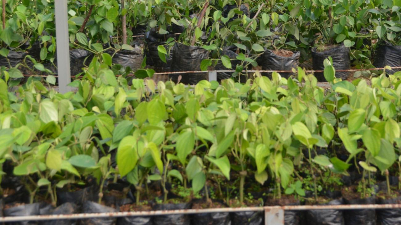 Productores de cacao y pimienta de Monte Plata reciben tres viveros