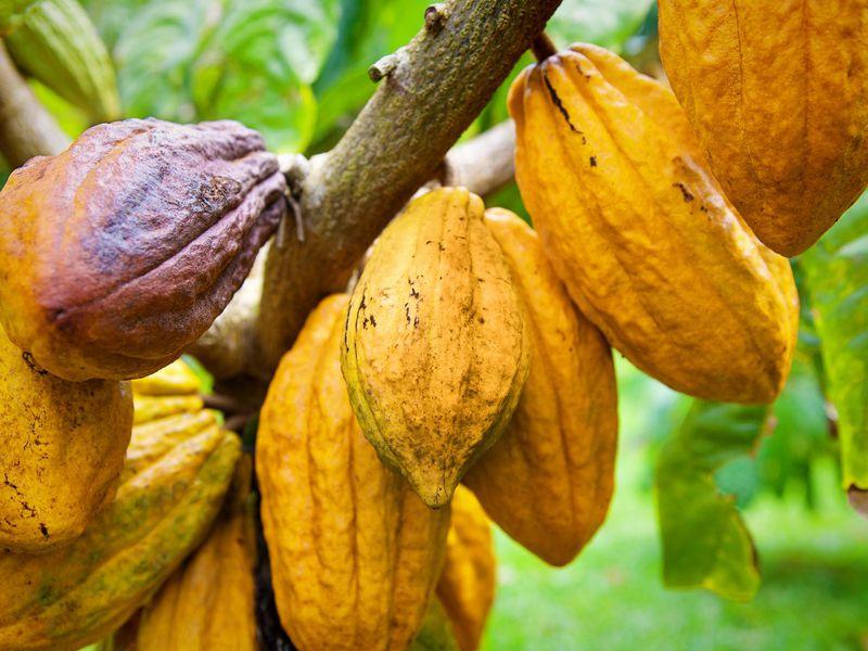 El cacao, uno de los grandes atractivos ecoturísticos de Monte Plata
